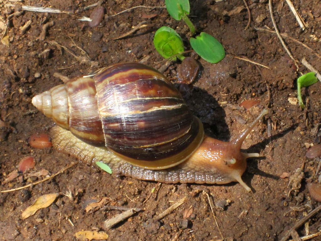 Giant african snail on st eustatius ciasnet picture freerunsca Gallery